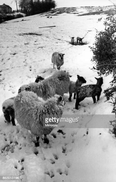 The aftermath of the blizzard these lambs on Mr Richard Vaughan's Gora farm at Llanidloes survived but many others throughout Wales were not so lucky...