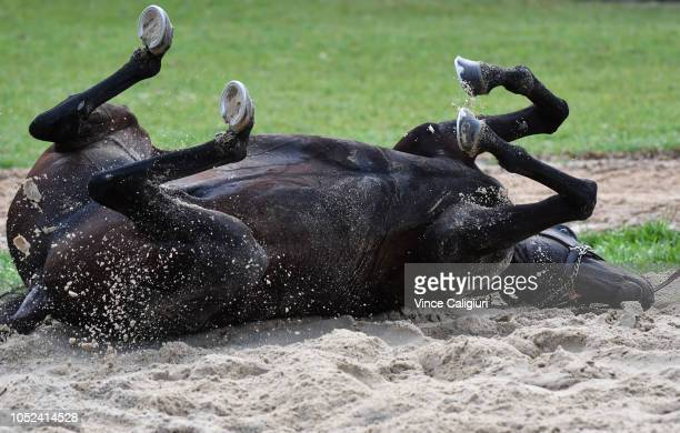 The Aidan O'Brien trained The Cliffsofmoher is seen having a roll in the sand after a Werribee trackwork session at Werribee Racecourse on October 18...