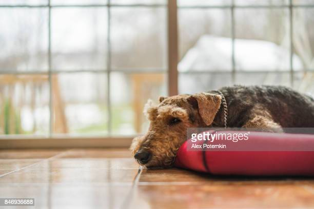 The Airedale terrier dog sleeping at the dog pad