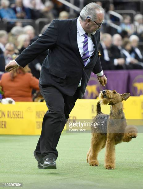 The Airedale Terrier 'Lynaire's Galilean Moon' competes during Terrier Group judging at the 143rd Westminster Kennel Club Dog Show at Madison Square...