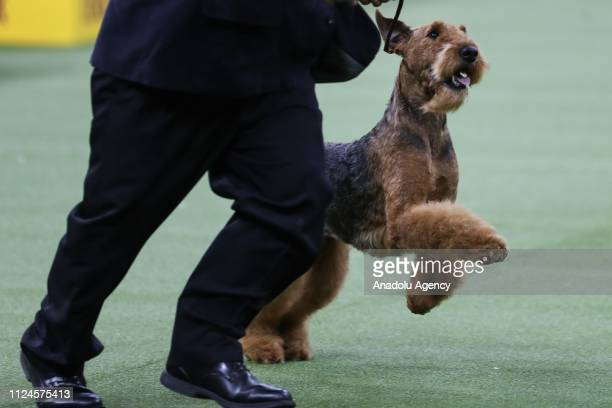 The Airedale Terrier named 'Lynaire's Galilean Moon' competes during the 143rd Westminster Kennel Club Dog Show at Madison Square Garden in New York...