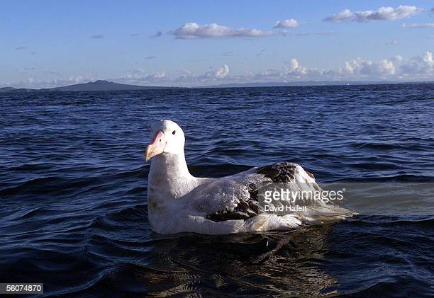 The Albatross that hitched a ride to Auckland from Nelson on a container ship shortly after it was released on the Hauraki Gulf by DOC staff