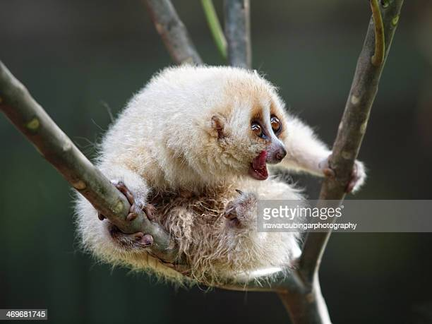 The albino Javan slow loris