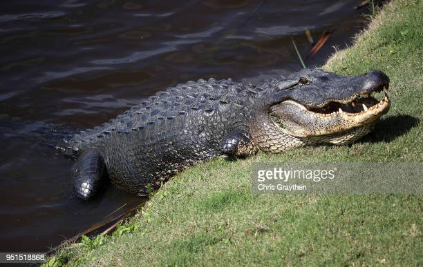 The alligator known as Tripod is seen near the ninth hole during the first round of the Zurich Classic at TPC Louisiana on April 26 2018 in Avondale...