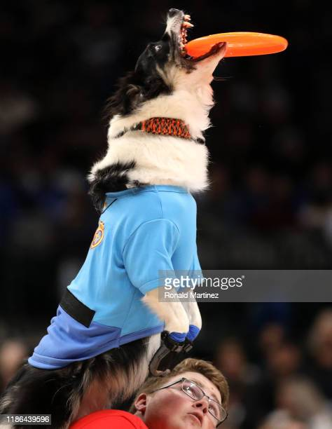 The All-Star Stunt Dogs perform a halftime show during a game between the New York Knicks and the Dallas Mavericks at American Airlines Center on...