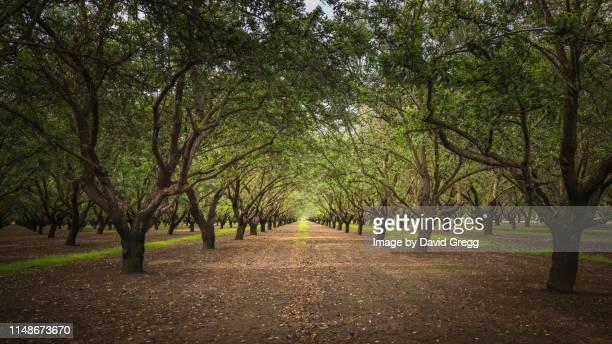 the almond grove 01 - マーセド郡 ストックフォトと画像