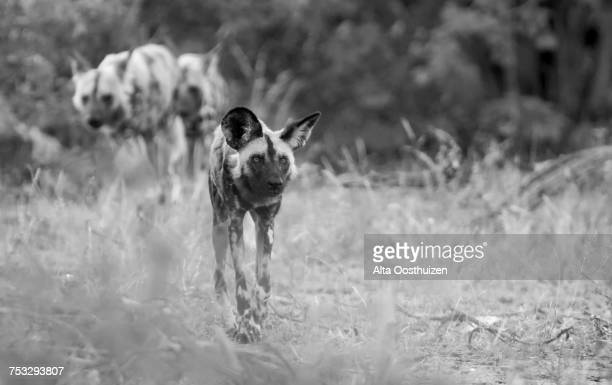 The alpha male wild dog leads his pack on a hunt - Timbavati Nature Reserve, South Africa