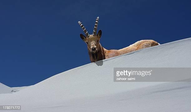 The Alpine Ibex