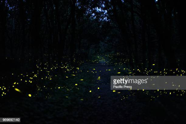 FOREST CUMA POZZUOLI ITALY The amazing dance of the fireflies illuminating the Cuma forest like a starry sky