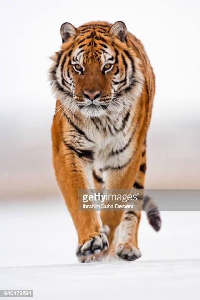the ambitious amur tiger runs frontward - siberian tiger stock pictures, royalty-free photos & images