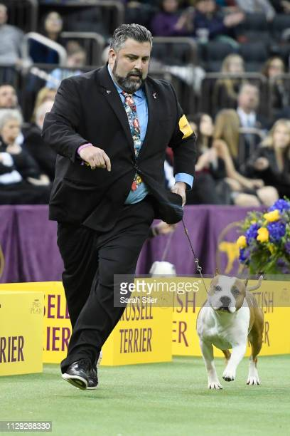 The American Staffordshire Terrier 'Pancho' competes during Terrier Group judging at the 143rd Westminster Kennel Club Dog Show at Madison Square...