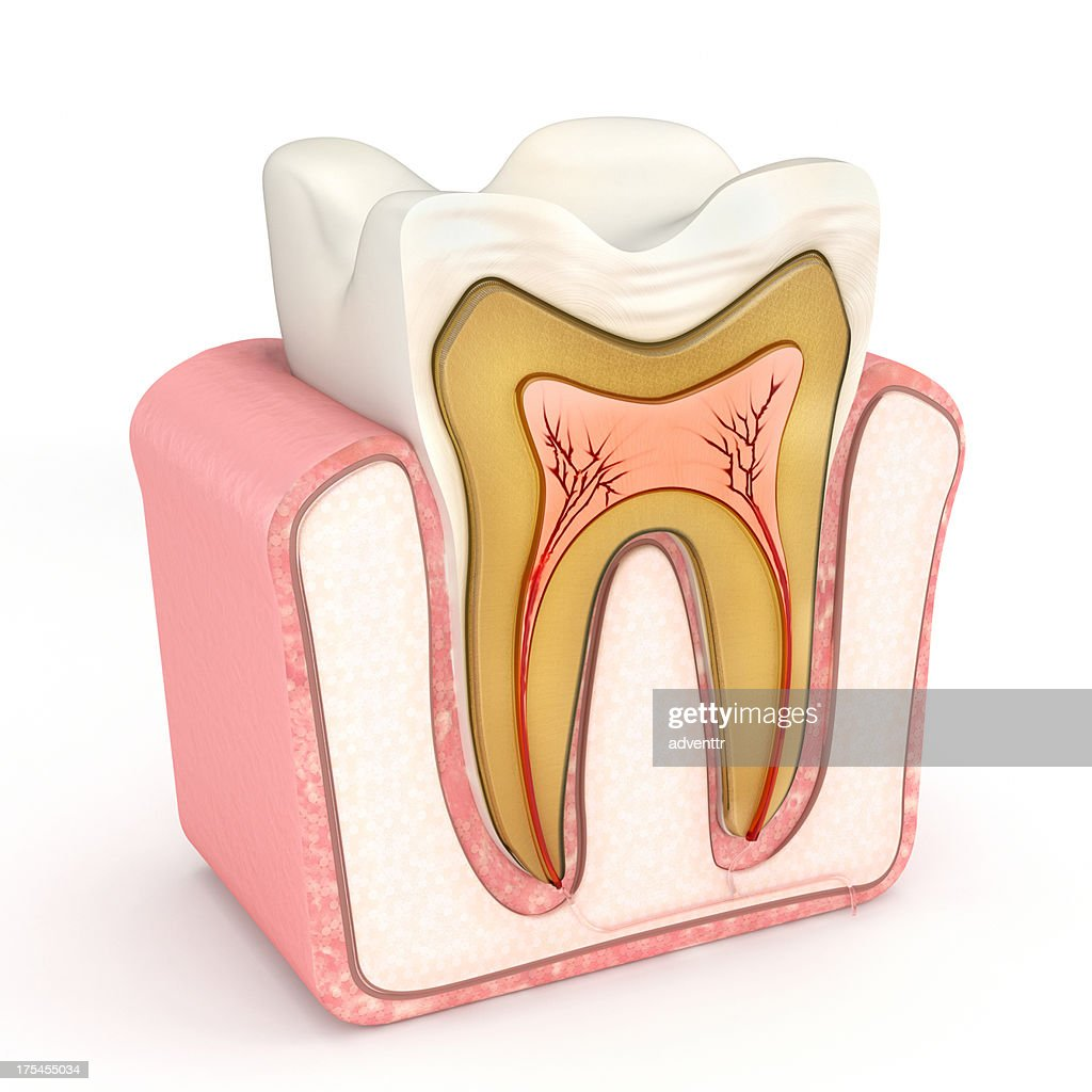The anatomy of a tooth : Stock Photo