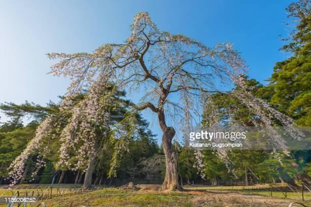 the ancient giant sakura tree, motsuji temple - 盛岡市 ストックフォトと画像