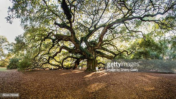 the angel oak tree near charleston, s.c. - permanente - fotografias e filmes do acervo