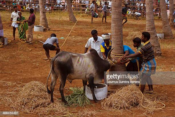 CONTENT] The Angry Bulls are brought into control after the deadly game of Jallikattu played in Alanganallur Near Madurai during the festival time of...