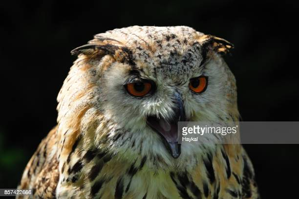 The Angry Owl
