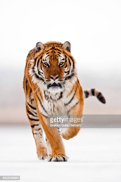 the angry siberian tiger is running after his prey - siberian tiger stock pictures, royalty-free photos & images