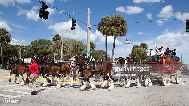 The Anheuser-Busch Budwiser Clydesdale horses
