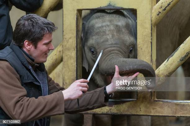 The animal keeper Andreas Wuftange measures the trunk of the baby elephant named MinhTan on January 19 at the zoo of Osnabrueck northern Germany /...