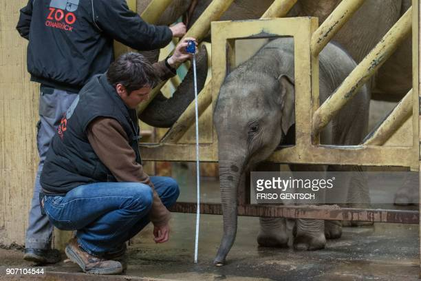 TOPSHOT The animal keeper Andreas Wuftange measures the trunk of the baby elephant named MinhTan on January 19 at the zoo of Osnabrueck northern...