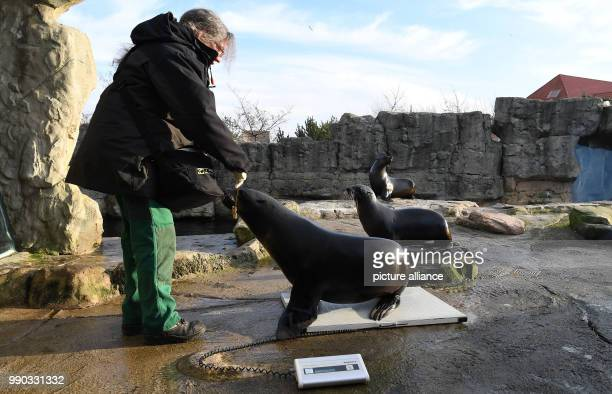 The animal keeper Carmen Guester weighs a sea bear in the 'Zoo am Meer' in Bremerhaven, Germany, 09 January 2018. In the course of a zoo inventory...