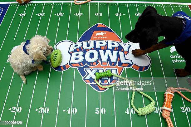 The Animal Planet Puppy Bowl break during the Discovery, Inc. TCA Winter Panel 2020 at The Langham Huntington, Pasadena on January 16, 2020 in...