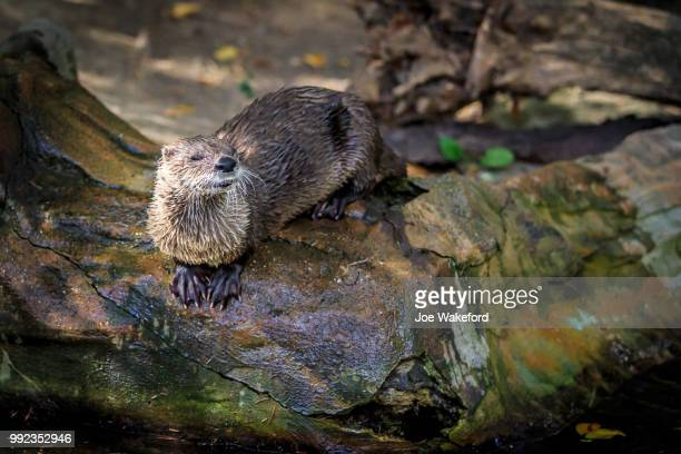 the animals of prague zoo - river otter stock pictures, royalty-free photos & images