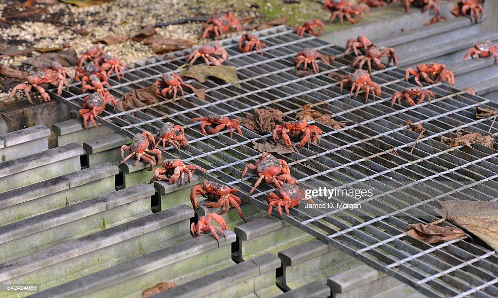 Red Crab Migration on Christmas Island : ニュース写真