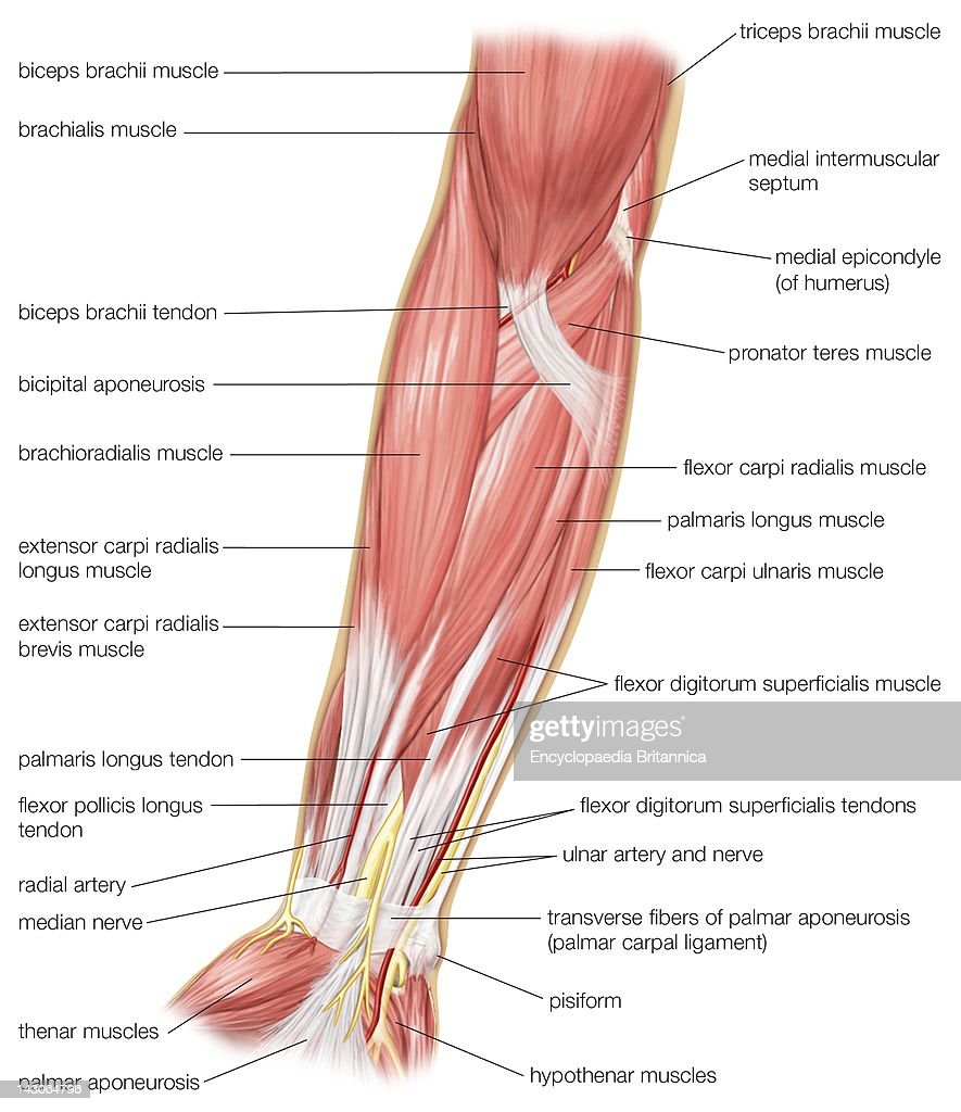 The Anterior View Of The Muscles Of The Human Forearm. Pictures ...