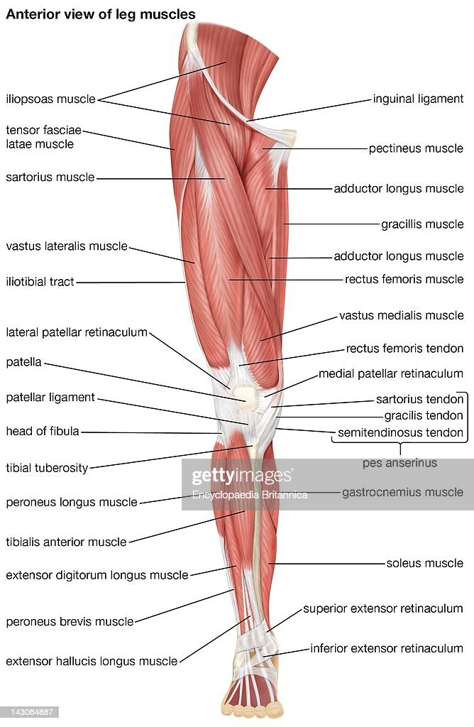 The Anterior View Of The Muscles Of The Human Right Leg News Photo