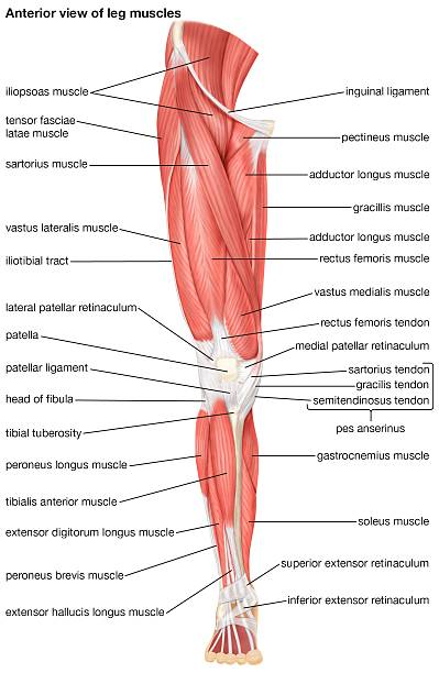 The Anterior View Of The Muscles Of The Human Right Leg. Pictures ...
