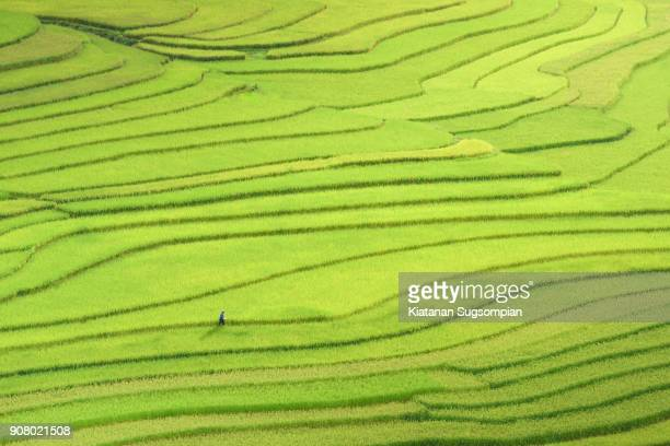 the ant's journey - rice terrace stockfoto's en -beelden