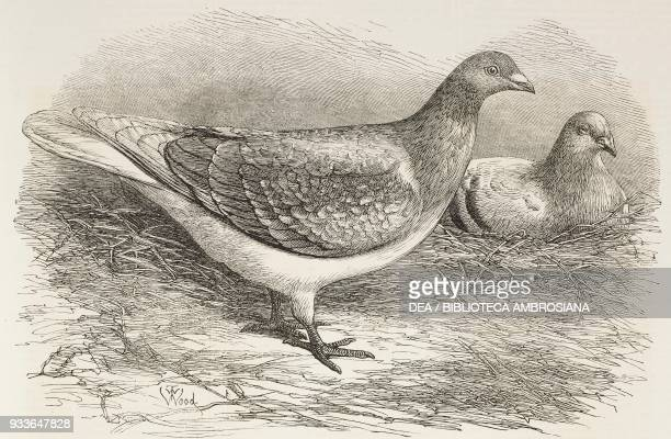 The Antwerp carrier pigeon illustration from the magazine The Illustrated London News volume LVIII February 4 1871