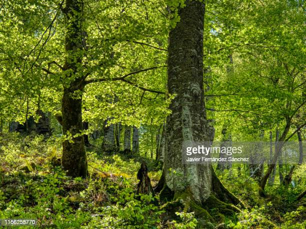 the appearance of the interior of a beech in spring. fagus sylvatica. - beech tree stock pictures, royalty-free photos & images