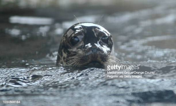 BEACH The Aquarium of the Pacific introduced their newest harbor seal pup to the rest of the sea lions and harbor seals Tuesday morning Bixby the...