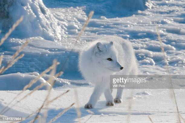 The Arctic Fox makes its winter living by following polar bears onto the ice and eating the leftovers from their kills Its coat changes from the...
