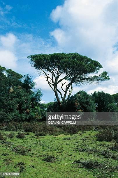 The area known as Prato dei Cisti Natural Park of Migliarino San Rossore and Massaciuccoli Tuscany Italy