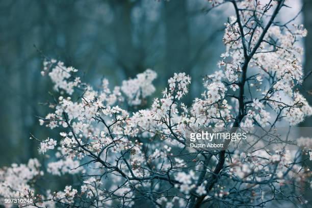 the arrival of the cherry blossoms - dustin abbott imagens e fotografias de stock
