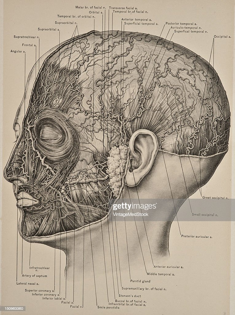 Arteries Nerves Muscles Of Scalp Face Pictures Getty Images