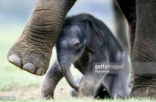 The as yet unnamed second Asian elephant calf to be born in the last 7 months stands at a photocall with its mother Azizah at Whipsnade Wild Animal...