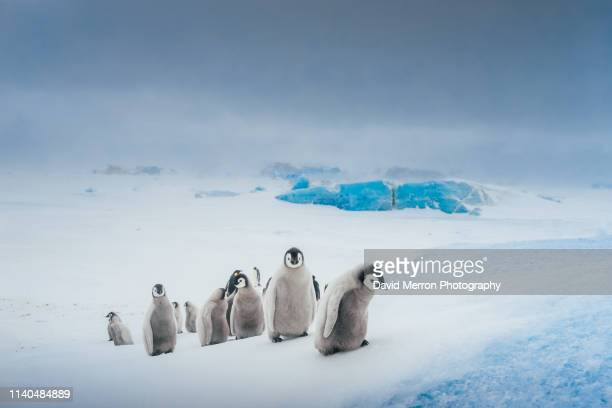 the ascent of chicks - antarctique photos et images de collection