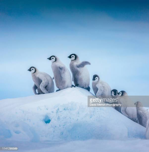 the ascent - emperor penguin chick stock pictures, royalty-free photos & images