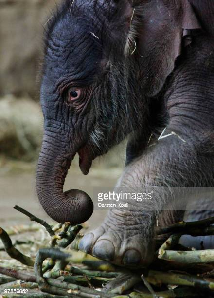The asian elephant cub Bimas eats wood at Tierpark Friedrichsfelde on March 19 2010 in Berlin Germany The baby was born by his mother Cynthia on...