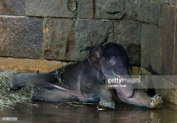 The asian elephant cub Bimas lies on the ground at Tierpark Friedrichsfelde on March 19 2010 in Berlin Germany The baby was born on March 15 2010 and...