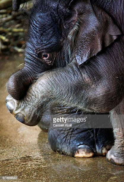 The asian elephant cub Bimas stands close to its mother Cynthia at Tierpark Friedrichsfelde on March 19 2010 in Berlin Germany The baby was born on...