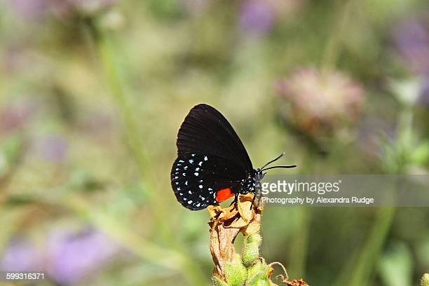 the atala butterfly. - eumaeus stock photos and pictures