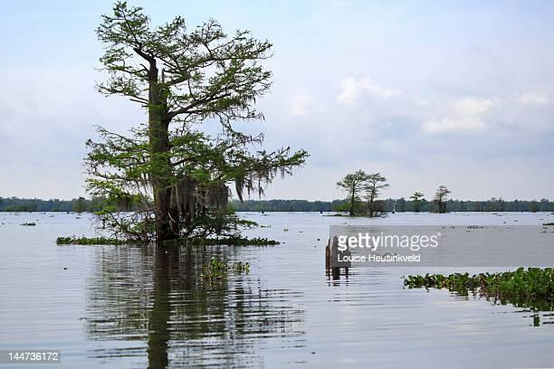 The Atchafalaya Swamp, Louisiana