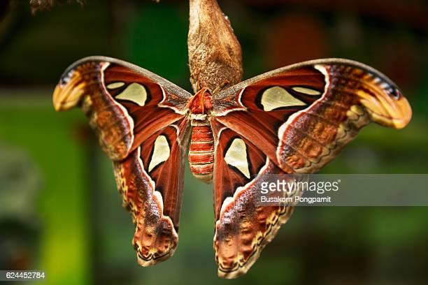 the atlas moth - papillon de nuit photos et images de collection