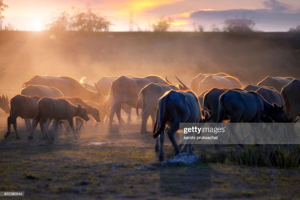 The atmosphere is beautiful during sunset. With Fields filled with herds of buffalo. : Stock Photo