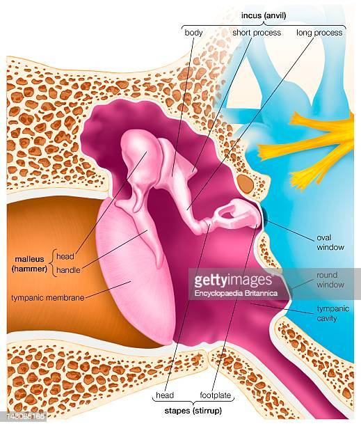 The Auditory Ossicles Of The Middle Ear And The Structures Surrounding Them